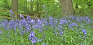 Bluebells: where to see them this spring