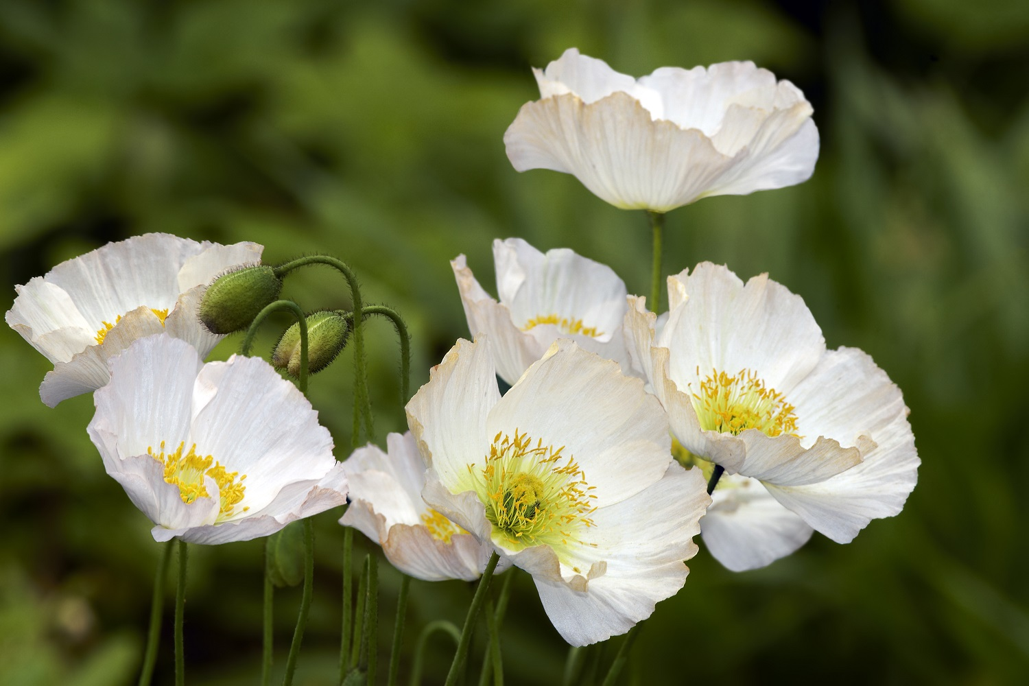 White-Poppies-Conscientious-Objectors