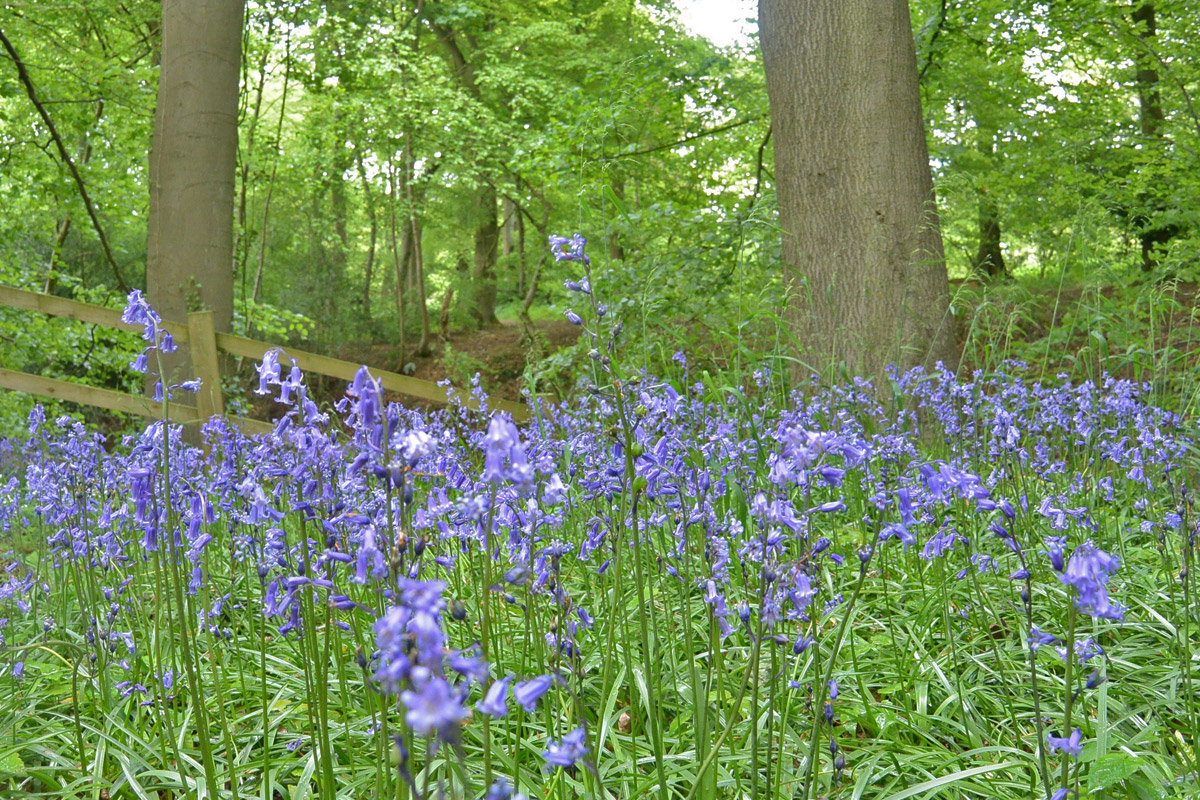 Brush-Hill-Bluebells