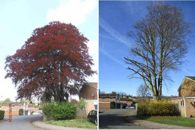copper-beech-tree-tpo-enforcement